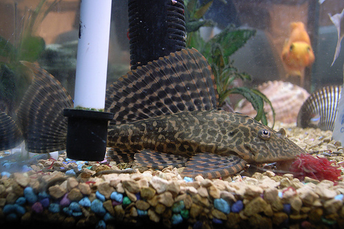 photo credit: Sailfin Pleco #5 via photopin (license)
