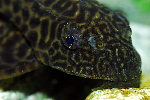 photo credit: Plecostomus via photopin (license)