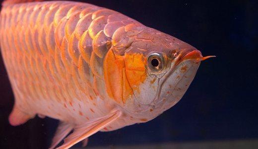 アロワナとは?大人気の大型肉食魚の特徴と種類をご紹介します