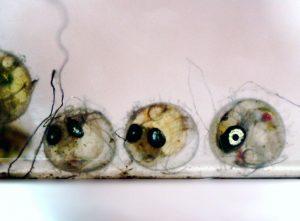 メダカの卵と稚魚   孵化しない?稚魚が育たない?…解決ポイントを解説