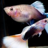 グッピーの繁殖で気をつけることと「稚魚を食べてしまう」対策について