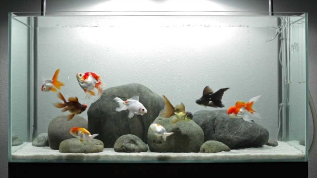 http://www.ihomewatch.net/wp-content/uploads/2015/04/fancy-goldfish-tank.jpg