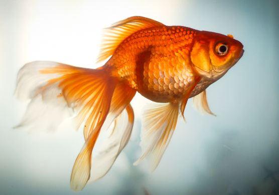 Золотая Рыбка: разновидности, содержание и размножение в ...