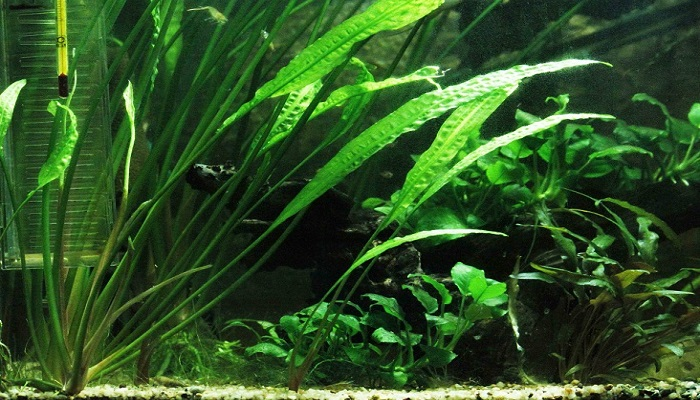 6 Best Freshwater Aquatic Plants for Freshwater Aquarium