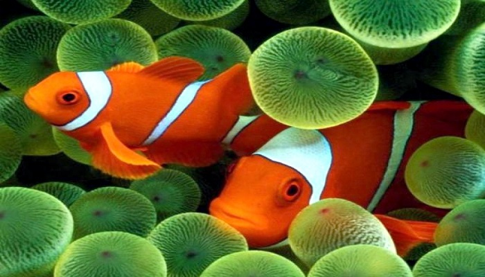 Marine fish: Marine Clownfish care and breeding method