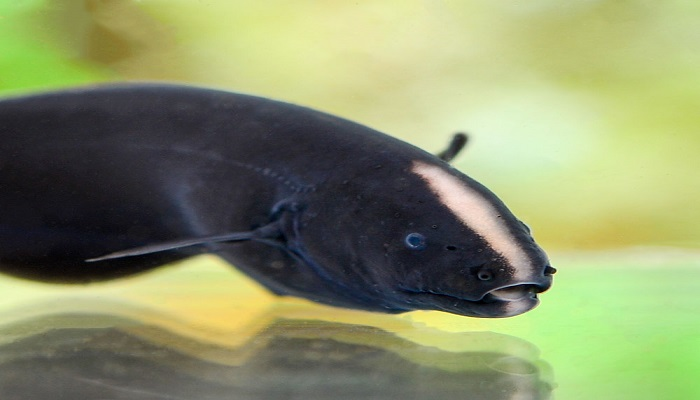 Black ghost knife fish care-Total care diet and breeding guide