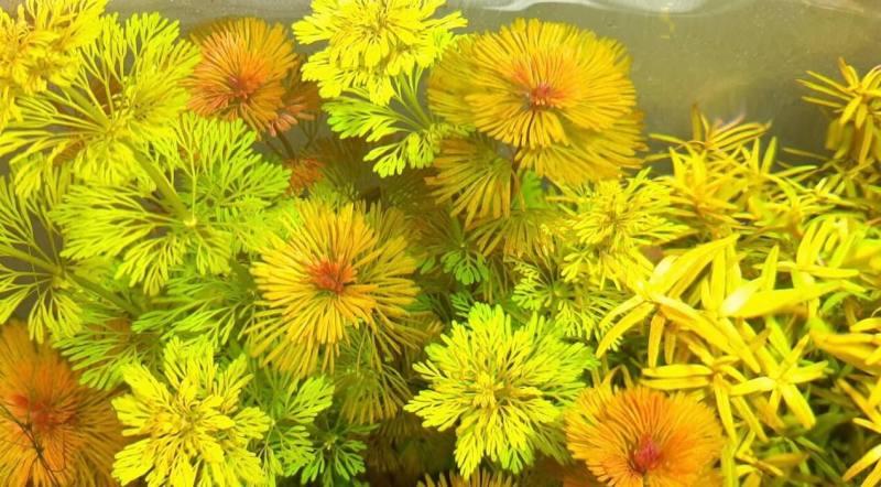 aquariumplanten zonder co2