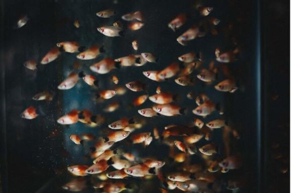 Welke vissen in een aquarium
