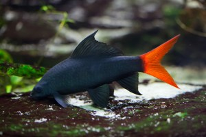 Red Tail Shark Red Tailed Black Shark The Care Feeding And Breeding Of Red Tail Sharks Aquarium Tidings