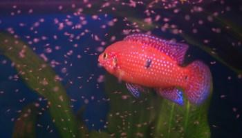 Guppy Fish - The Care, Feeding and Breeding of Guppies - Aquarium