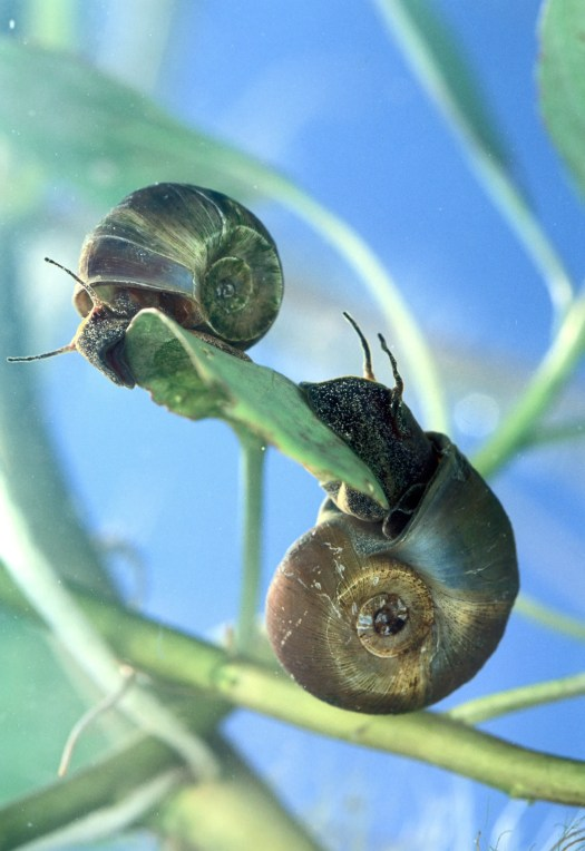 Ramshorn Snail - The Care, Feeding and Breeding of ...