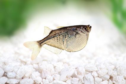 Common Hatchetfish The Care Breeding And Feeding Of Common Hatchetfish Aquarium Tidings