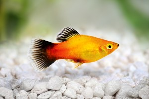 Platy Fish The Care Feeding And Breeding Of Platys Aquarium Tidings