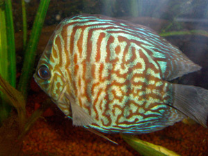 Tropical Fish 29