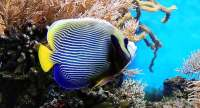 Tropical Fish Imperator