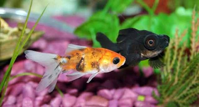 Tropical fish disease