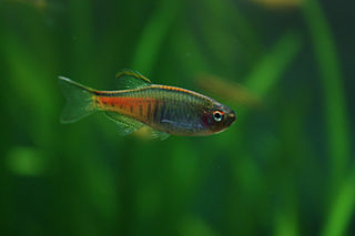 Glowlight Danio (Danio Choprae)