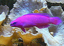 Marine fish are brightly coloured