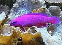 Marine fish are brightly coloured