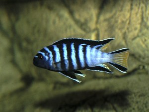 Malawis are territorial fish that are better in a single species aquarium