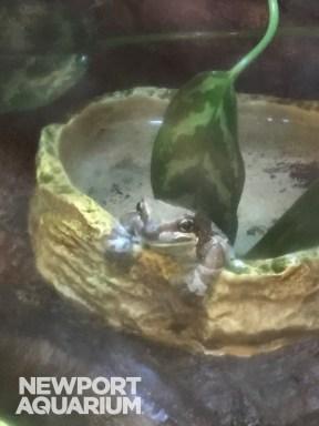 Milk Frog 2