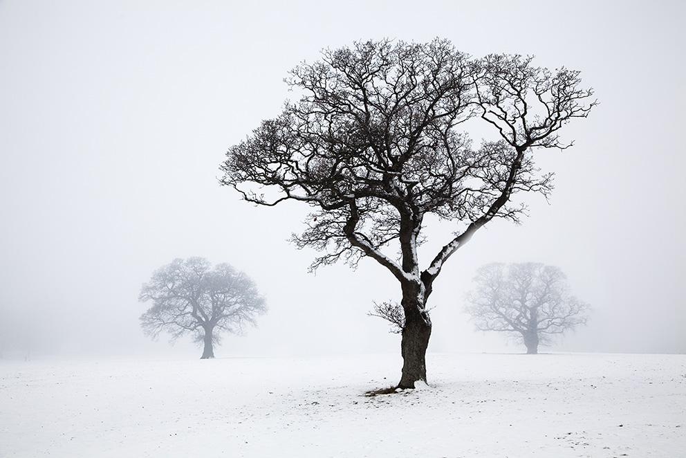 Snow and Fog print; A Trio of Snowbound Oak Trees