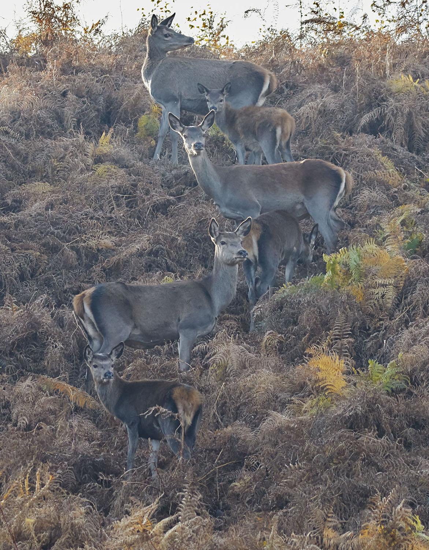 A Red Deer Family, Exmoor print; Red Deer on a Moorland Hillside