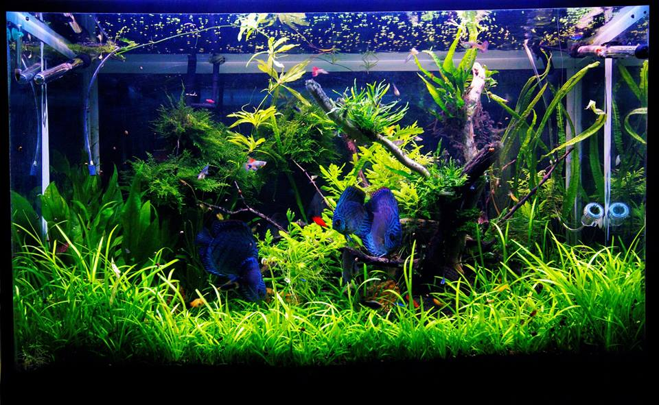 Aquarium Plant Bulbs Sale