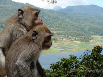 Makakové u jezera Buyan v horské oblasti Bedugul, opice na Bali