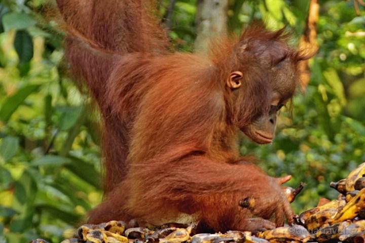 Orangutaní mládì z rehabilitaèního centra Camp Leaky