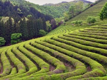 Čajové plantáže Alishan