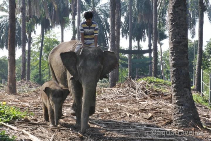Sloni z Tangkahanu Sumatra
