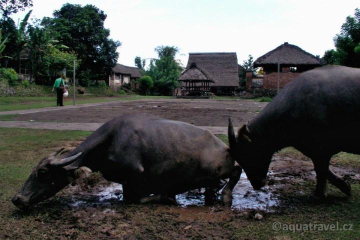 Bali Tenganan vodní buvoli