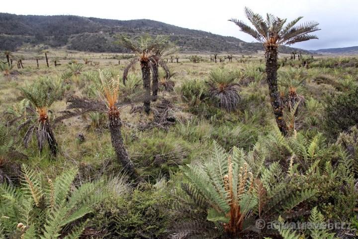 Stromové kapradiny u jezera Habbema - prodloužení Wamena