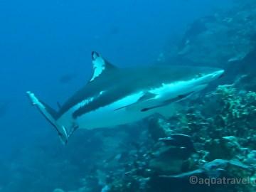 Černoplouvý žralok