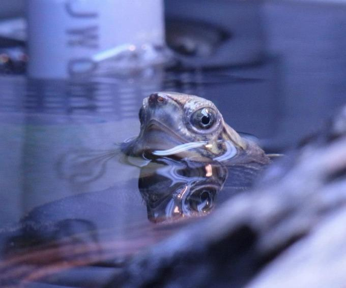 水面から顔を覗かせるニホンイシガメ
