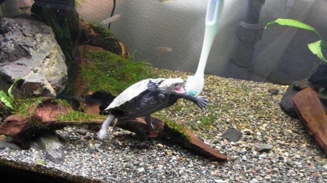 歯ブラシに激しく噛み付くニホンイシガメ