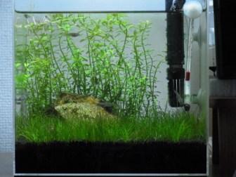 差し戻しから2週間…水草水槽の繁茂した後景草をトリミング