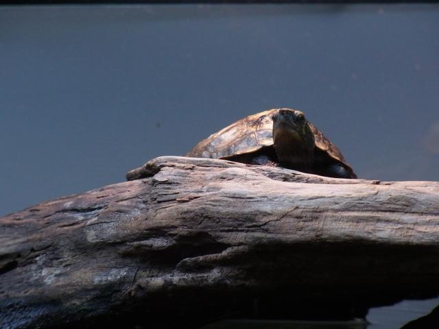 新調したレフ球の下でバスキングするニホンイシガメ