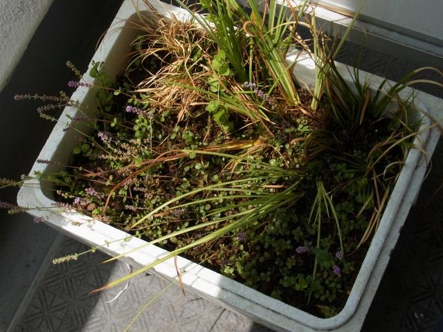 水草の水上葉を水上栽培