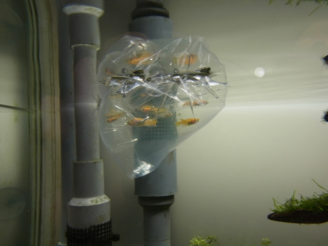 カメ水槽へ投入するエサメダカ