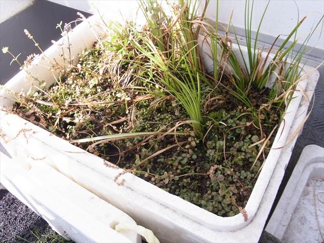 グリーンロタラ・ロトンジフォリアなどの水上葉