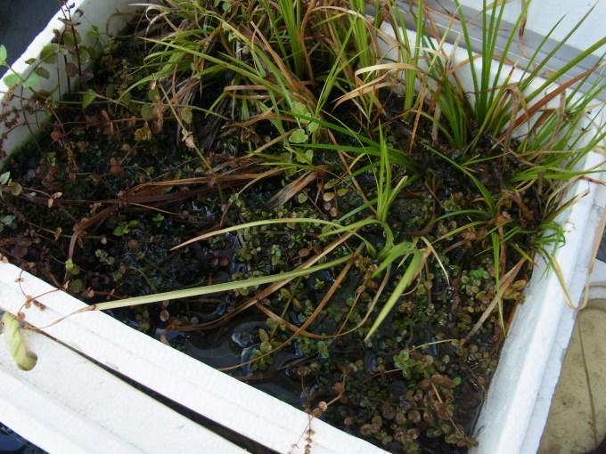 ロタラ系の水上栽培 排水後