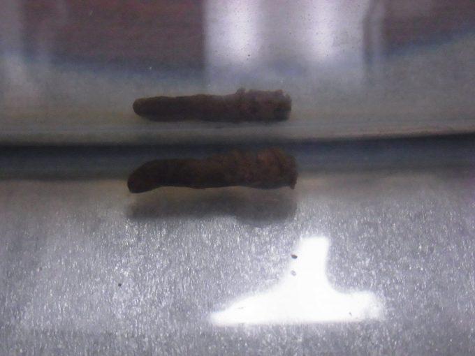 久しぶりに出たニホンイシガメの糞