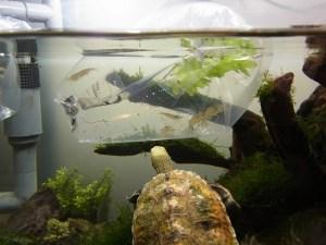 カメ水槽に餌用メダカ&ヤマトヌマエビ導入!混泳は成立するか?