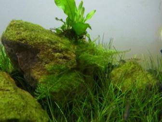 20cmキューブ水槽リセットから6週間 水草と生体の変化を観察
