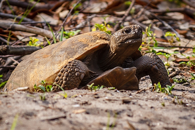 A Gopher Tortoise Coming Out of his Burrow