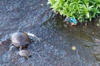 親子亀の泳ぎの練習!?かわいらしい瞬間をカメラが捉えた!