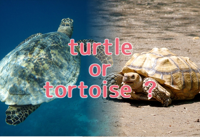 """亀の英語表現-""""turtle""""と""""tortoise""""の違い・種類別表現"""