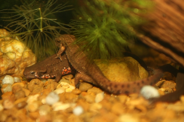 Japanese Fire-Bellied Newt (Cynops pyrrhogaster)